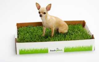 Как приучить щенка чихуахуа к туалету