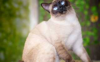 Кот меконгский бобтейл
