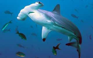 Череп акулы молота