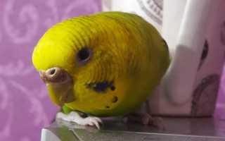 Нарост у попугая на клюве