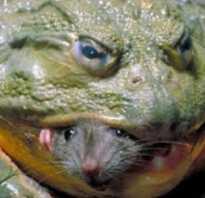 Сколько весит самая большая жаба
