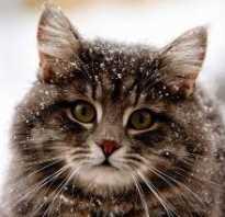 Американский бобтейл кошки фото