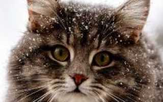 Кот американский бобтейл фото