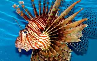 Ядовитая рыба крылатка