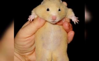 Беременный хомяк фото