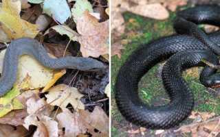 Змеи курской области фото и название