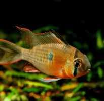 Боливийская бабочка рыбка