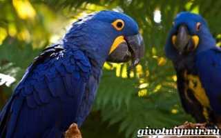 Попугай ара гиацинтовый