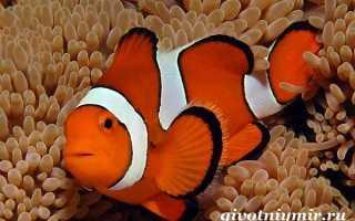 Доклад про рыбу клоун