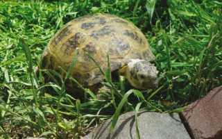 Черепаха к какому семейству относится