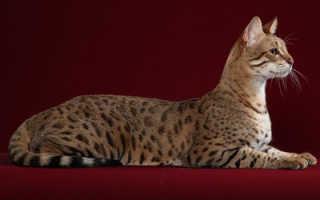 Самые дорогие породы котят