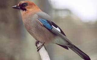 Сойка птица чем питается
