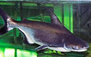 Акулий сом чем кормить