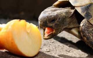 Черепаха сухопутная фото