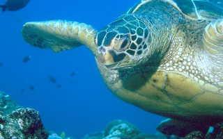 Фото черепаха дермохелис