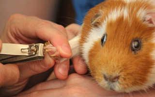 Нужно ли подстригать ногти морской свинке