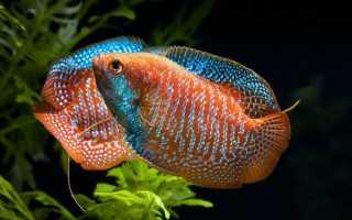 Рыбки лялиус содержание и уход