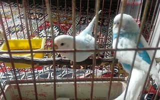 Нужно ли выпускать попугая из клетки