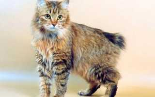 Курильский бобтейл вес взрослого кота
