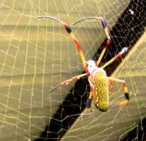 Самый большой паук в мире фото