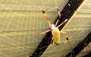 Самый крупный паук в мире фото