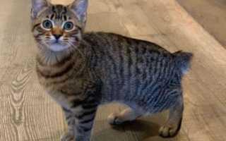 Курильский бобтейл имена кошек