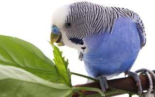 Чем можно кормить волнистых попугаев