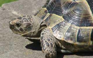 Черная морская черепаха