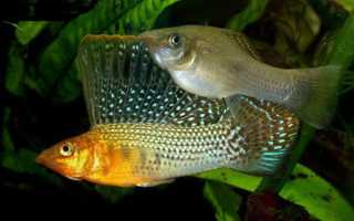 Моллинезии рыбки фото виды