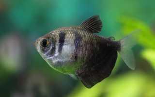 Цветные рыбки тернеция