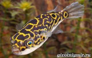 Рыба тетрадон фото