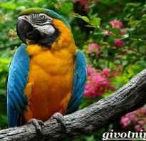Попугай ара в дикой природе