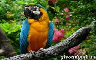 Про попугая ару