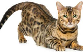 Породы кошек с леопардовым окрасом название