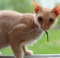 Разновидность сфинксов кошек с шерстью