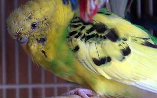 Сколько раз линяет волнистый попугай