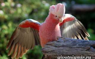 Розовые попугаи фото