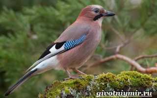 Сойка птица описание