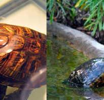 Чем кормить черепаху в майнкрафте