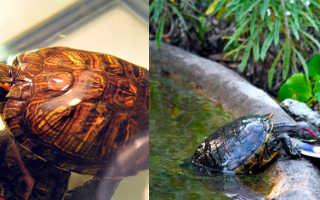 Красноухие черепахи уход кормление