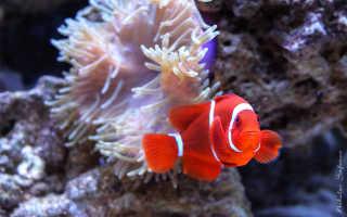 Рыба клоун в домашних условиях