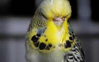 Болезни попугаев волнистых симптомы