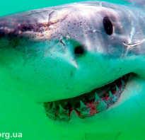 Доклад на тему белая акула