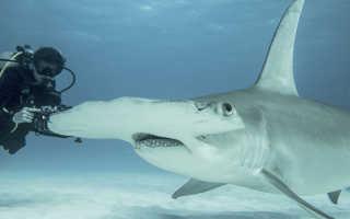 Акула молот картинки