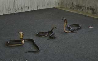 Кровь змеи полезные свойства
