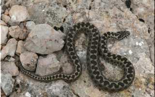 Змеи крыма фото и описание