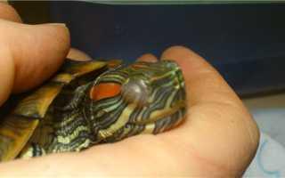 Лечение глаз красноухой черепахи
