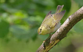 Пеночка пересмешка птица фото