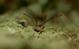Сколько живет паук сенокосец