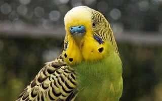 Как покупать попугая волнистого